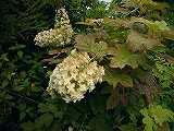 アジサイ カシワバアジサイ花