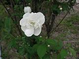 バイカウツギ(八重咲き)100522b 050