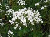 ハマナデシコ(白花)110708 076