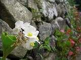 ベゴニア(白花)110713 016