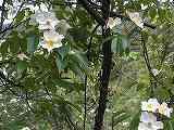 ヤマイバラ(花)100526 061
