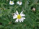 ヨメナ(白花)111001b 127