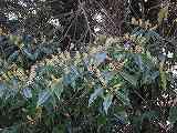 リンボク(花)101010 058
