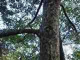 カゴノキ(樹皮)110104B 004