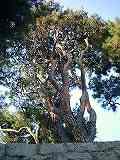 タギョウショウ(樹形)01130015