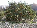 ナツミカン(樹形)091225 030