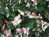 ハツユキカズラ(斑入り葉)100702 096