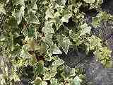 ヘデラ(斑入り葉)100209 004