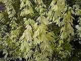 メイプルレインボー(斑入り葉)