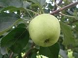 リンゴ(実)110706 001