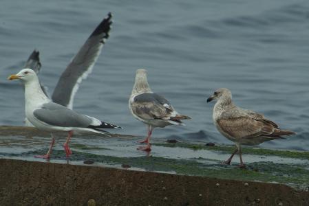 unknown -gull