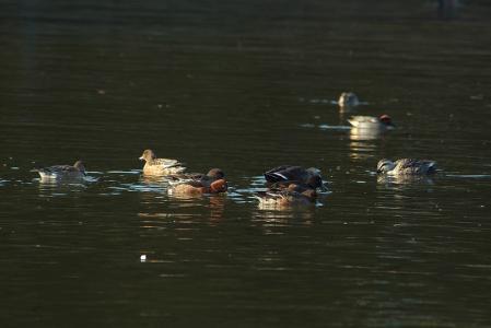 surface-feeding-ducks