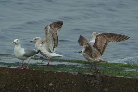 unknown-gull2