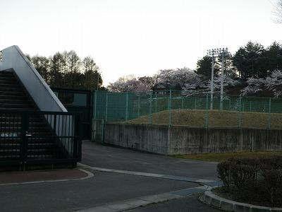 野球場は桜が満開