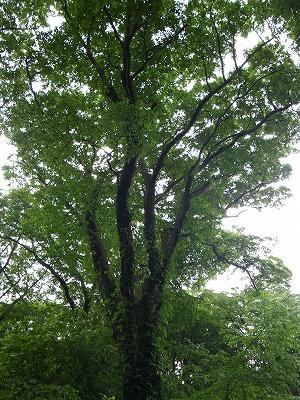 筑波山のブナの木