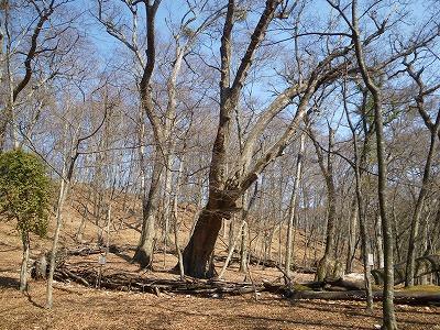 金袋山のミズナラの巨木