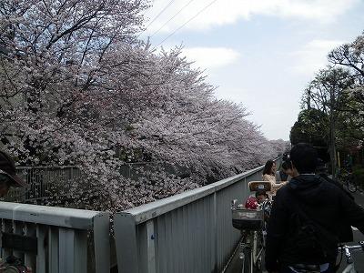 2011年の桜2
