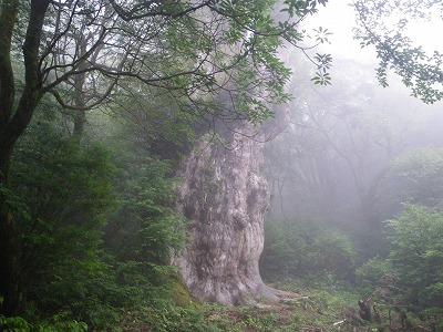 縄文杉を脇から