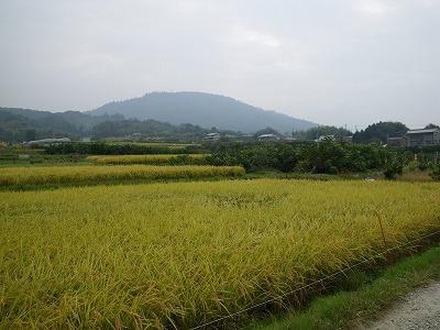 稲穂の向こうに三輪山