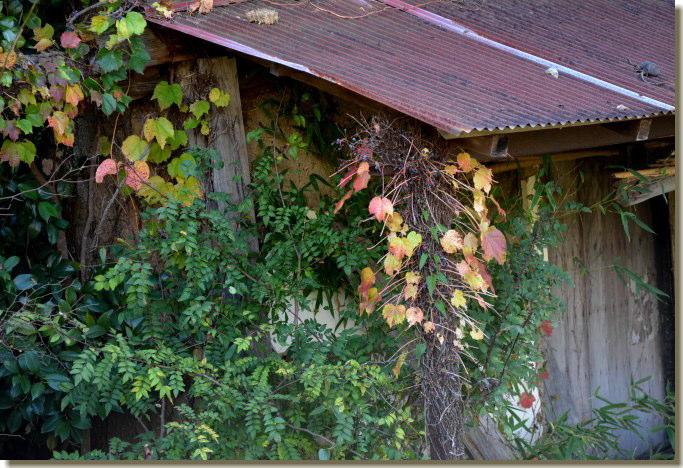 蔦の這う小屋