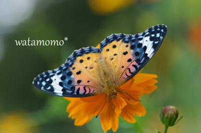 うっとりの蝶