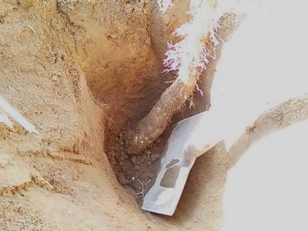 短形自然薯 掘り取り