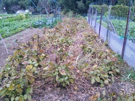 収穫間近の大豆