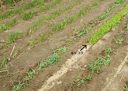 麦踏み後のアップ