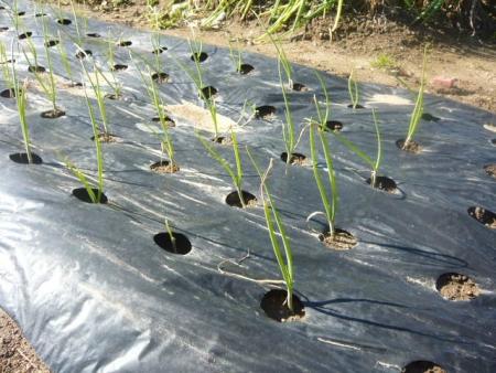 玉ねぎマルチ植え
