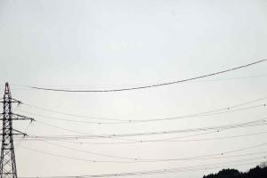 117カワラヒワ電線①
