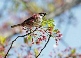 130スズメと桜