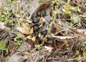 134ウサギの新しい糞