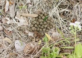 134ウサギの古い糞
