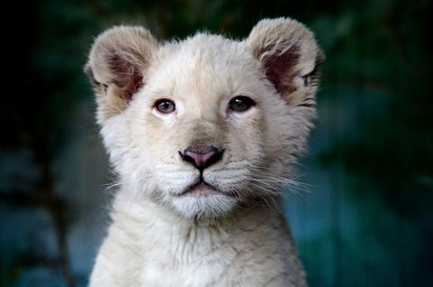 white-lion-00_convert_20110310225448.jpg