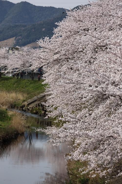 御油の桜11