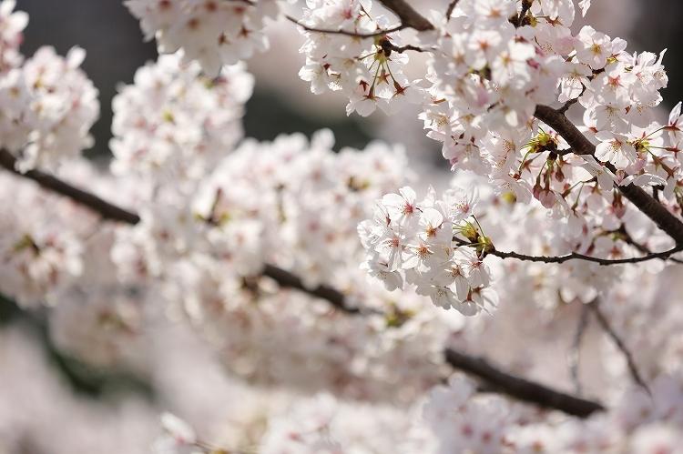 御油の桜10