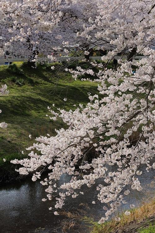 御油の桜09