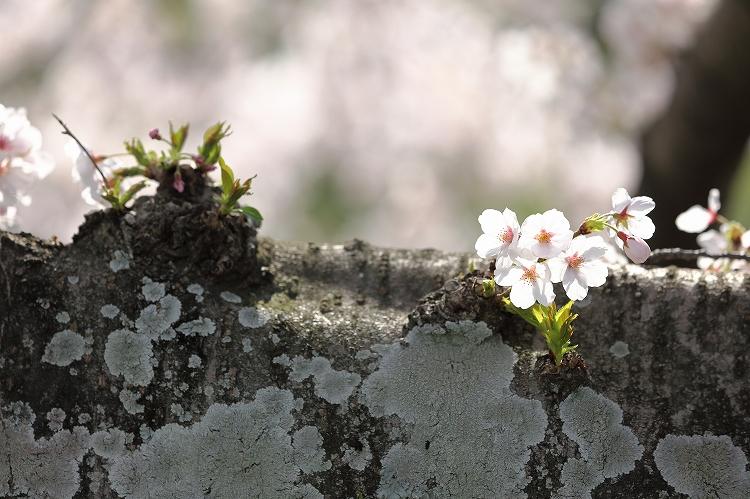御油の桜07