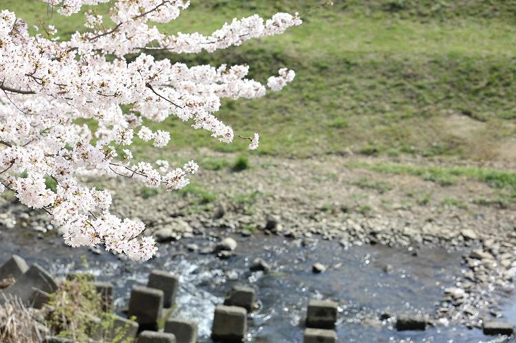 御油の桜06