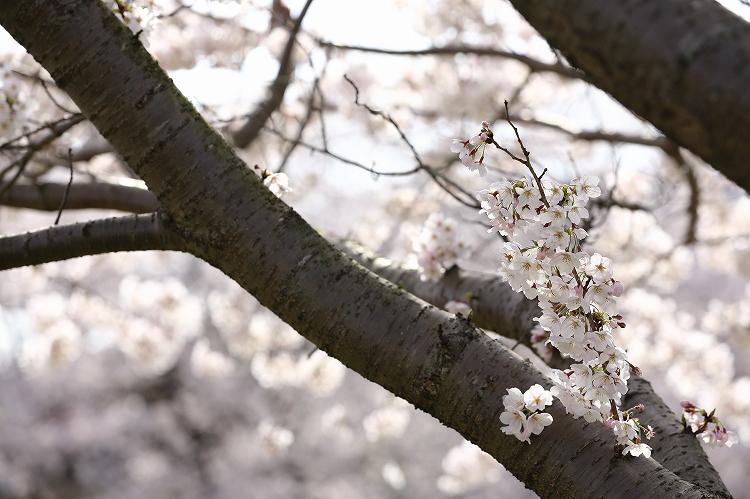 御油の桜05