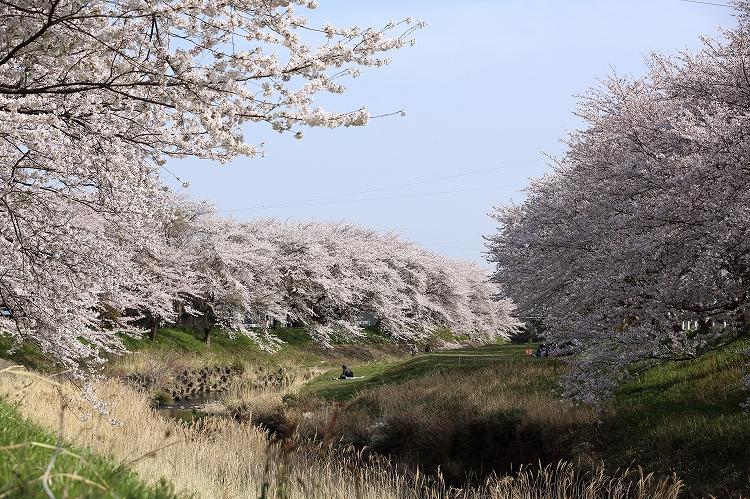 御油の桜04