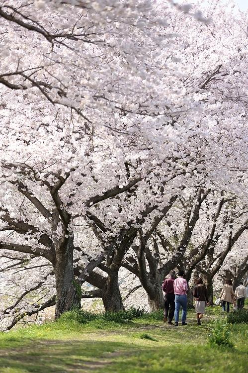 御油の桜03