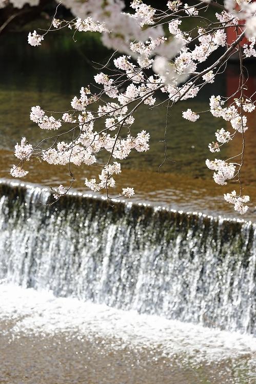 御油の桜02