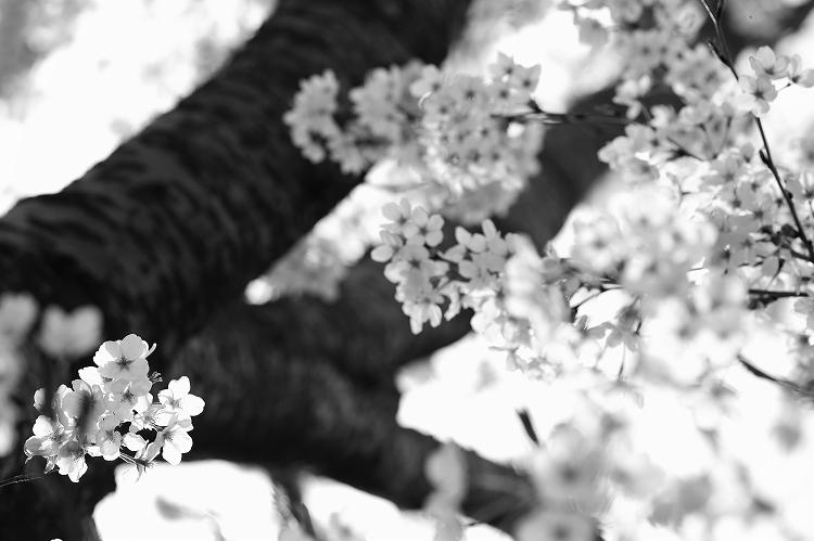 御油の桜31