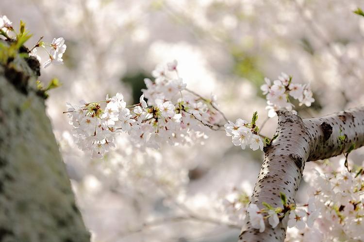 御油の桜30