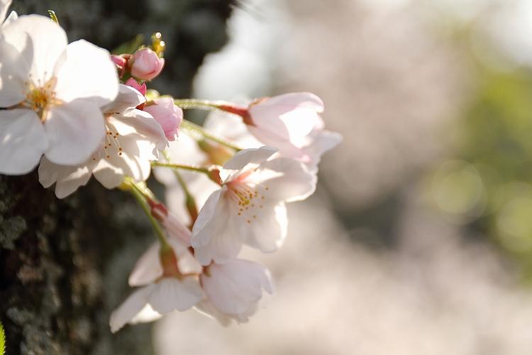 御油の桜29