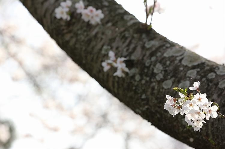 御油の桜26