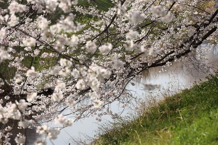 御油の桜25