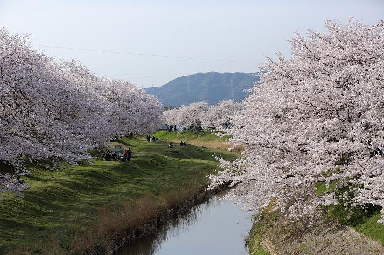 御油の桜24