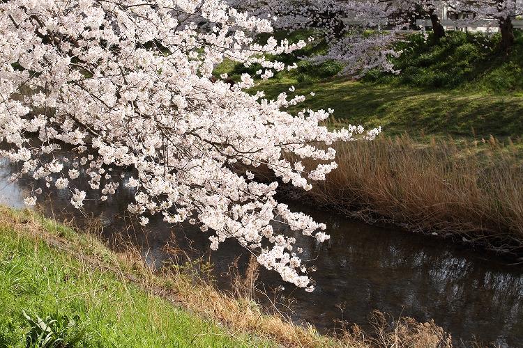 御油の桜23